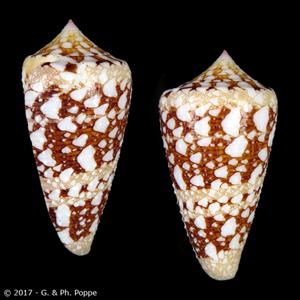 Leptoconus ammiralis ammiralis f. archithalassus