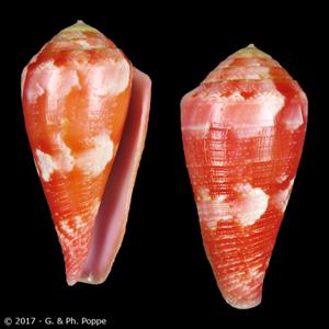 Rhizoconus pertusus