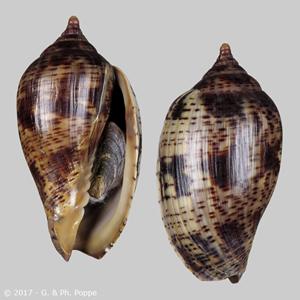 Harpulina lapponica CHOCOLATE
