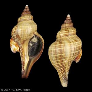 Pleuroploca australasia