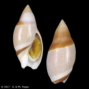Ancilla albicallosa