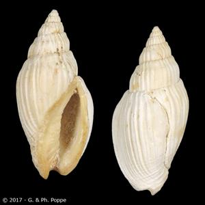 Lyria gracilcostata FOSSIL