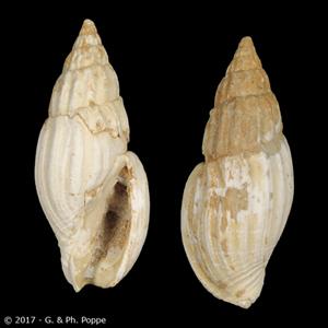 Lyria mitraeformis FOSSIL