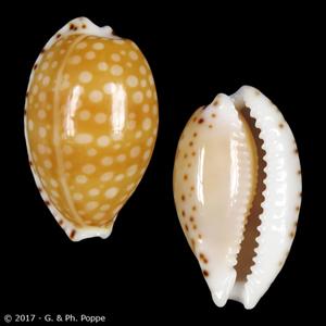 Cribrarula gaskoinii