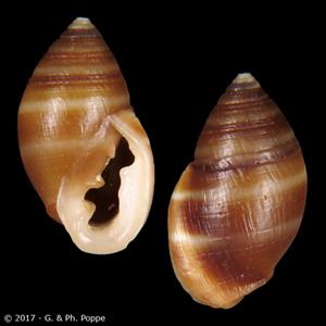 Cassidula philippinarum