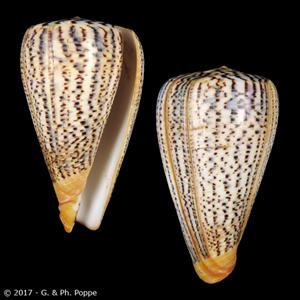 Dendroconus suratensis