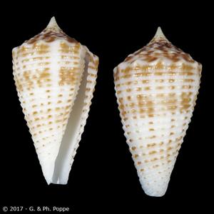 Asprella samiae