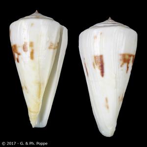 Kioconus tribblei
