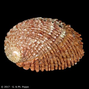 Haliotis squamosa