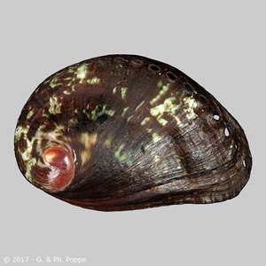 Haliotis spadicea