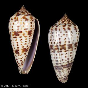 Asprella lynceus
