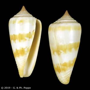 Conus species FAKE