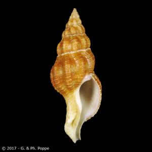 Fusolatirus sarinae LARGE