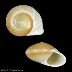 Alcadia fasciata