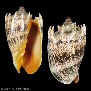 Cymbiola imperialis ORANGE MOUTH