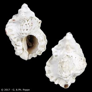 Favartia brevicula