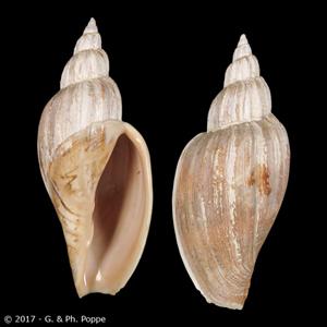 Fulgoraria megaspira magna f. salesbrosa