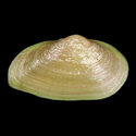 Glauconome angulata
