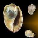 Cassis fimbriata GIANT