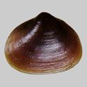 Byssobornia species