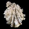 Hyotissa hyotis CLUSTER