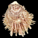 To Conchology (Spondylus multisetosus cf.)