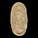 Callistochiton jacobaeus