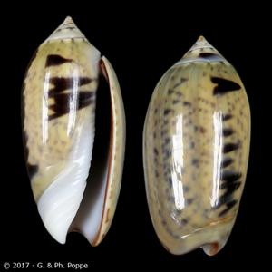 Oliva oliva f. tigridella