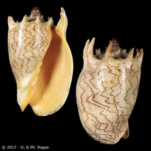 Cymbiola imperialis f. robinsona
