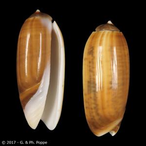 Oliva irisans f. chrysoides