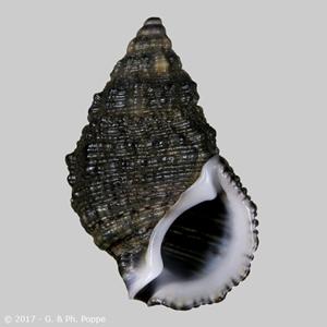 Clypeomorus subbrevicula