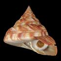 To Conchology (Mikadotrochus hirasei RED)