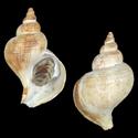 To Conchology (Neptunea constricta cf.)