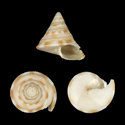 To Conchology (Perotrochus caledonicus YOUNG)
