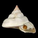 To Conchology (Mikadotrochus hirasei ALBINO SECOND)