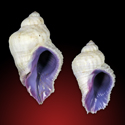 To Conchology (Coralliophila radula SET)
