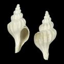 To Conchology (Boreotrophon clavatus)