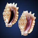 To Conchology (Sinustrombus sinuatus SET)