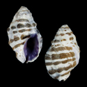 To Conchology (Morula iostoma)