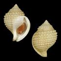 To Conchology (Galeodea leucodoma PERIO)