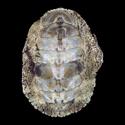 To Conchology (Liolophura tenuispinosa)
