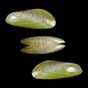 To Conchology (Arcuatula perfragilis)