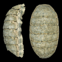 To Conchology (Chiton squamosus)
