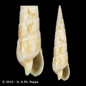 Myurella affinis