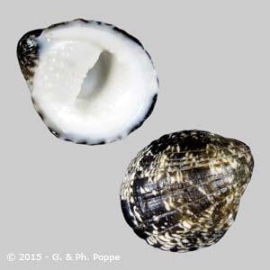 Nerita albicilla