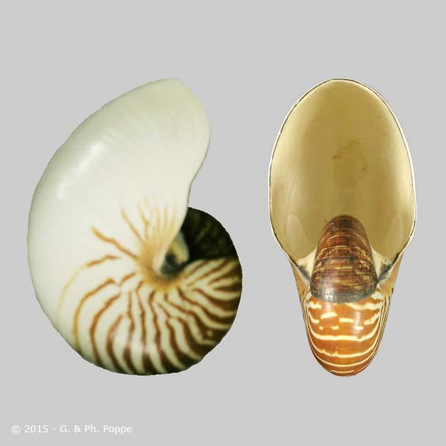 Nautilus pompilius f. repertus