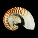 Nautilus pompilius FREAK