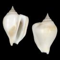 To Conchology (Laevistrombus canarium canarium ALBINISTIC)