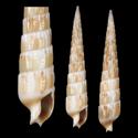 To Conchology (Hastulopsis whiteheadae)