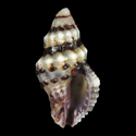 To Conchology (Drupella margariticola cf.)